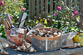 Korb mit Narzissen - Zwiebeln zum einpflanzen, Tontopf mit Kleingeräten