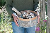 Frau bringt Korb mit Narzissen - Zwiebeln zum einpflanzen