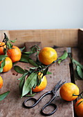 Frische Mandarinen mit Blättern dazwischen Vintage-Schere
