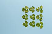 Plucked coriander leaves