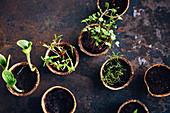 Herb and vegetable seedlings