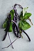 Freshly harvested Blauhilde beans