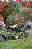 Herbstarbeiten im Garten: Schubkarre am Beet mit Herbstastern