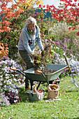 Herbstarbeiten im Garten: Frau legt Gartenabfall in Schubkarre