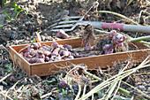Ernte von Topinambur 'Kompakte Violette'