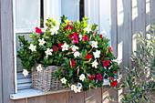 Korbkasten mit Dipladenien Sundaville 'Red' 'White' am Fenster