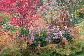Herbstbeet mit Spindelstrauch und Herbstanemone 'Rosenschale'