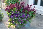 Stern-Petunie 'Blueberry Star' und Feuersalbei Go-Go 'Purple'