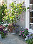 Orient-Knöterich im Holzkübel unterpflanzt mit Zauberglöckchen
