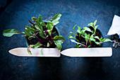 Microgreens growing in pots