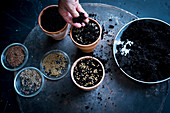 Sowing seeds in plant pots