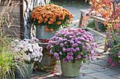 Herbstchrysanthemen Dreamstar 'Echo' 'Pan Lilac' und Multiflora 'Kipli'