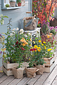 Sortiment Herbstchrysanthemen zum Einpflanzen in den Garten