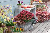 Herbstchrysantheme Dreamstar 'Pan Rot', Stiefmütterchen und Purpurglöckchen