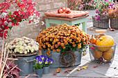 Herbstchrysanthemen Dreamstar 'Echo' und Multiflora 'Kipli' in Zink-Gefäßen
