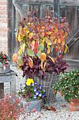 Strauchhortensie in Herbstfärbung mit Purpurglöckchen, Hornveilchen