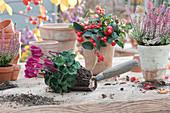 Alpenveilchen, Scheinbeere und Knospenheide Gardengirls in Töpfe setzen