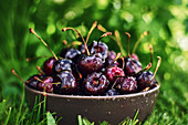 Close up bowl of fresh wet cherries placed on green grass in garden