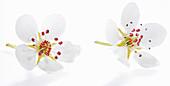 Zwei Birnenblüten