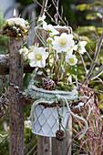 Christrose 'Wintergold' am Gartenzaun