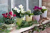 Töpfe mit Alpenveilchen, Christrose 'Wintergold' und Kerzen als Herbstdeko