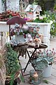 Weihnachtliche Terrasse mit Zuckerhutfichte, Purpurglöckchen und Silberblatt