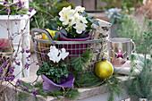 Korb mit Christrose und Alpenveilchen in Filztöpfen weihnachtlich dekoriert