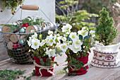 Weihnachts-Terrasse mit Christrosen und  Zuckerhutfichte