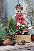 Frau bepflanzt Holzkasten mit Skimmien und Christrosen