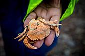 Hand hält aufgebrochene Krabbenschale