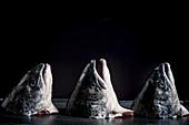 Three Salmon Heads