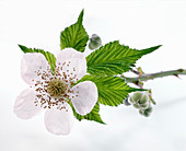 Blackberry blossoms on a branch