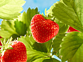 Strawberries on a plant