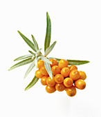 Sea-buckthorn berries with leaves
