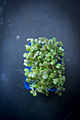 Fresh cress in a plastic punnet