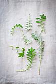 Blätter des Leberklees (Odermennig)