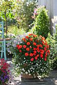 Zauberglöckchen, Schneeflockenblume, Edellieschen und Engelsgesicht als Kombi