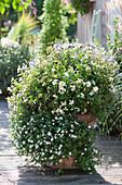 Zauberglöckchen, Schneeflockenblume, Zweizahn und Engelsgesicht als Kombi