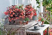 Begonien Summerwings 'Ebony & Coral' 'White Elegance' im Holzkasten