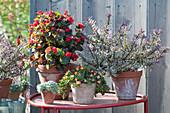 Topf-Arrangement mit Strauchveronika, Eisbegonie und Mittagsblume