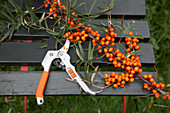 A freshly cut sea buckthorn branch