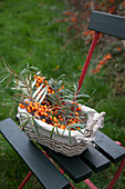 Freshly cut sea-buckthorn branches in a basket