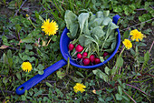 Radishes in a blue colander in a meadow