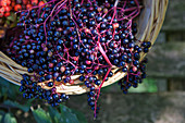 Fresh elderberries in a basket