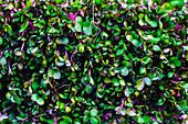 Violett-grüne Mikrokräuter (bildfüllend)