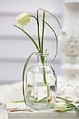 Einzelne Blüte von Fritillaria meleagris 'Alba' in Glasflasche