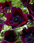 Anemone coronaria 'Meron Bordeaux'