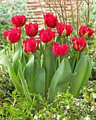 Tulipa 'Love Magic'