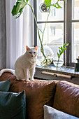 Weiße Katze auf braunem Ledersofa am Fenster mit Monsterablegern
