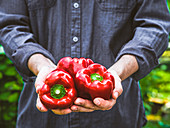 Farmers hands with red peppers